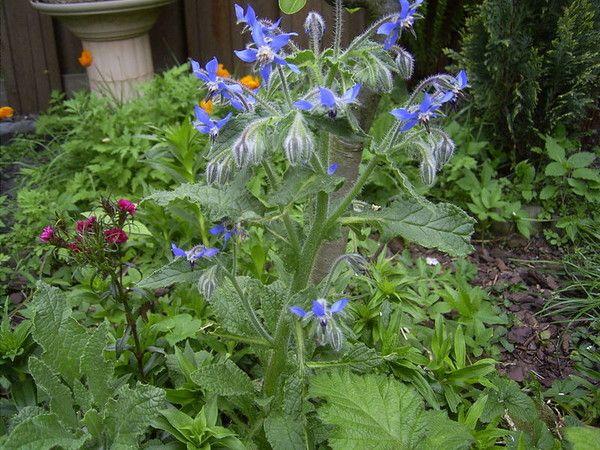 L 39 immortelle fleur plante immortelle fleur for Plante immortelle