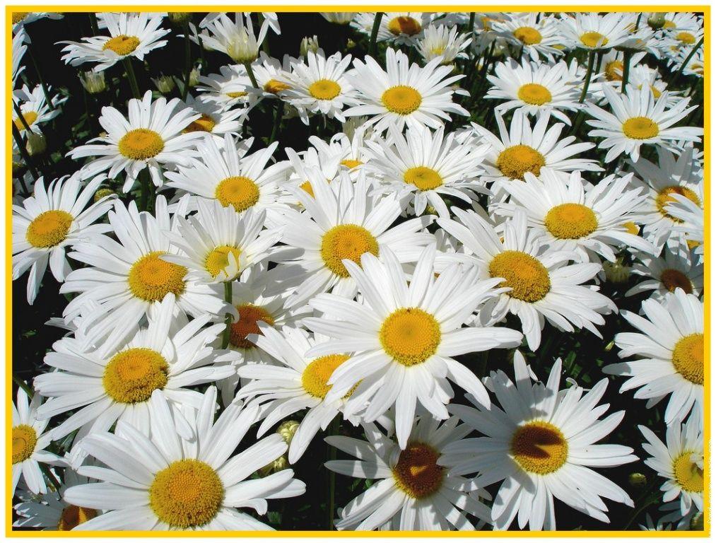 Fleurs et prenoms - Image fleur marguerite ...