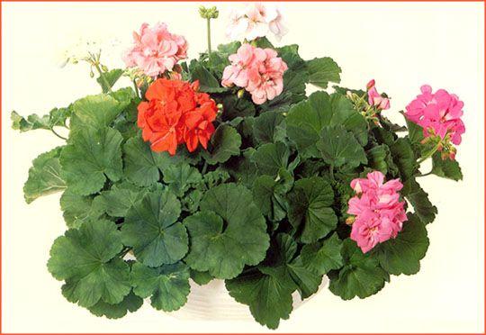 fleurs plantes en g langage culture. Black Bedroom Furniture Sets. Home Design Ideas